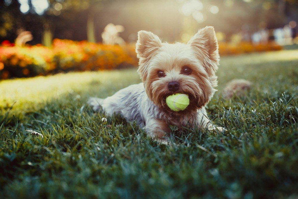 Yorkshire terrier cão