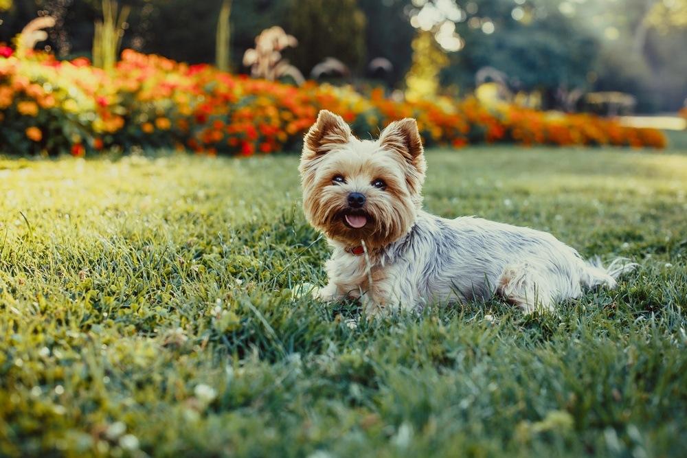 Yorkshire terrier terrier