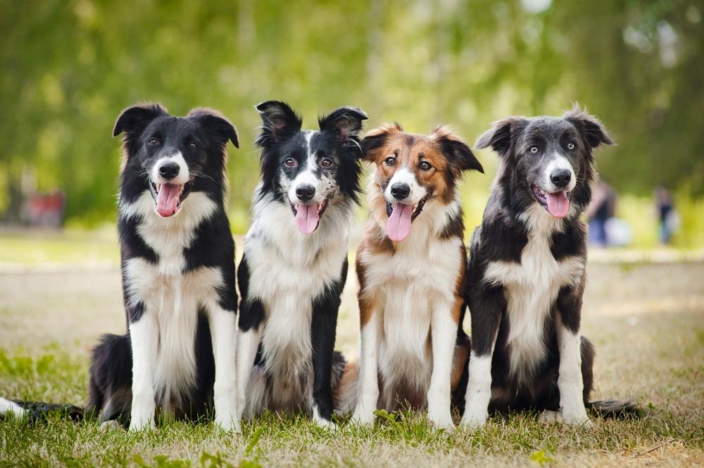Border Collie cachorros