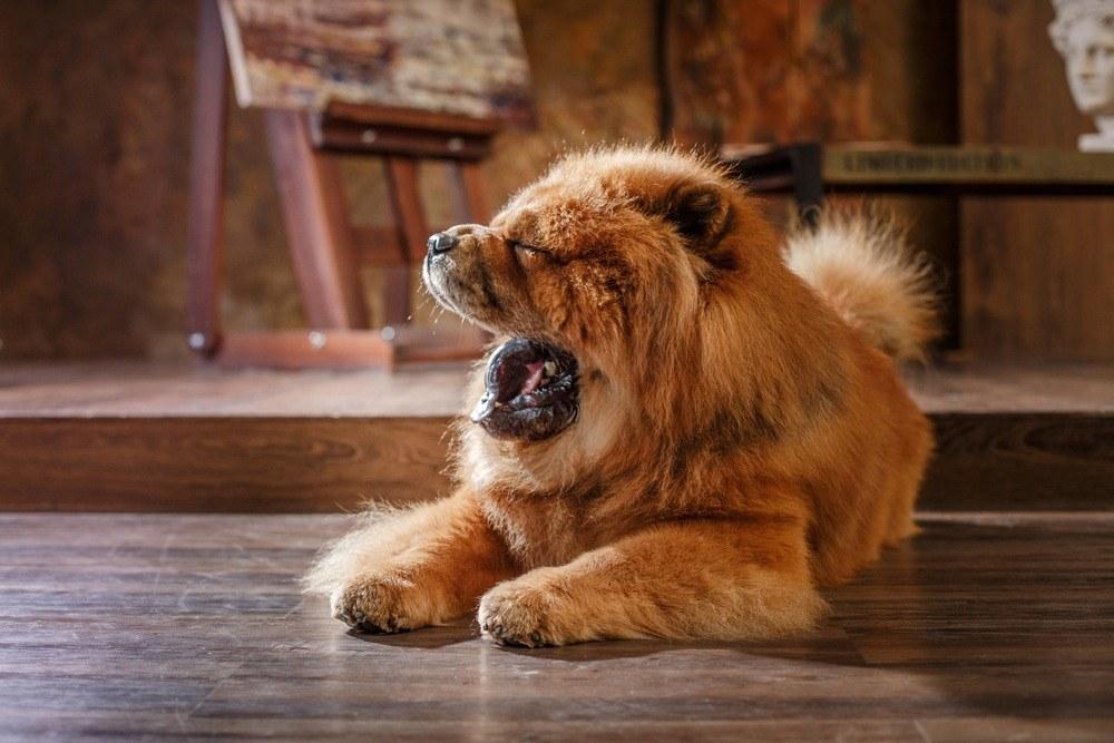 Chow-chow cachorro