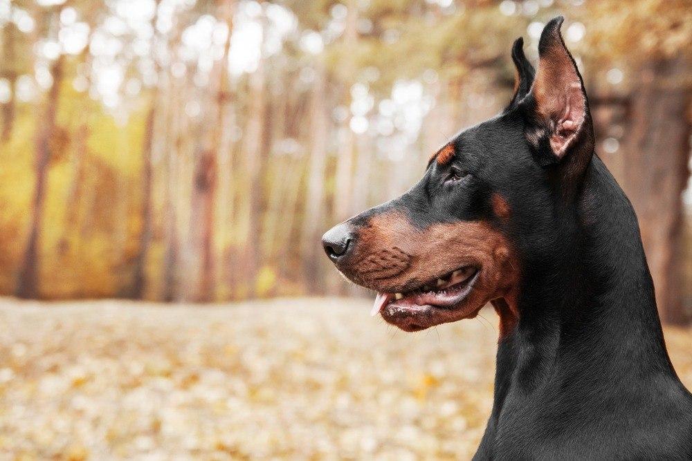 Pinscher cão