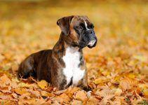 Boxer cão