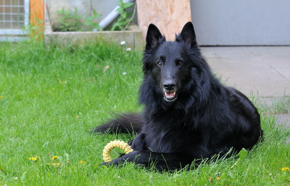 Pastor belga cachorro