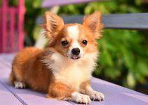 Chihuahua raça