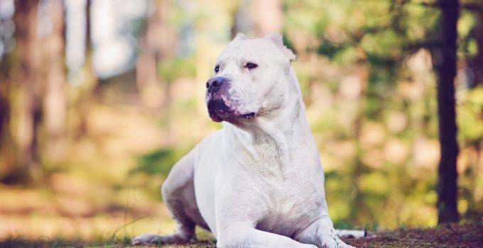 Dogo argentino cachorro
