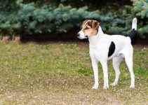 Fox Paulistinha cão