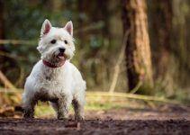 West Highlander White terrier