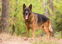 Pastor alemão cachorro