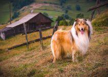 Collie cão