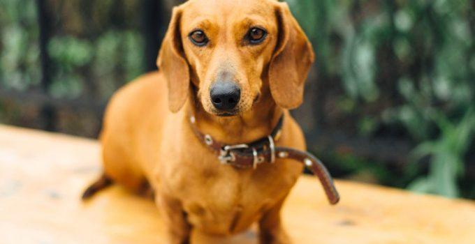 Dachshund cão