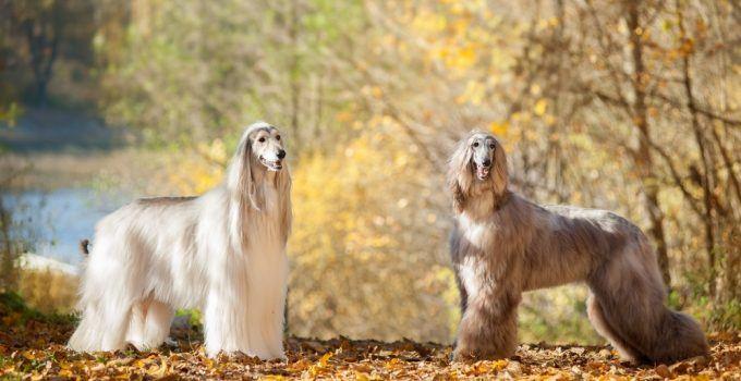 Afghan hound cão