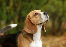 Beagle cão