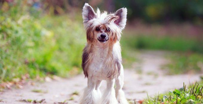 Cão de Crista Chinês raça