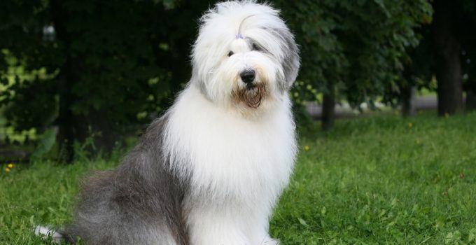 cachorro Old English Sheepdog